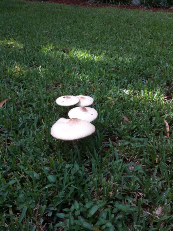 Mysterious Giant Mushrooms in Florida